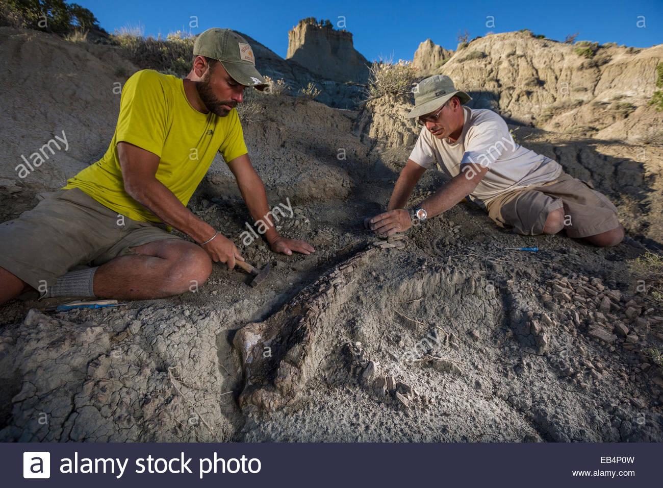 Paleontologists excavate and prepare a large therapod pelvic bone. - Stock Image