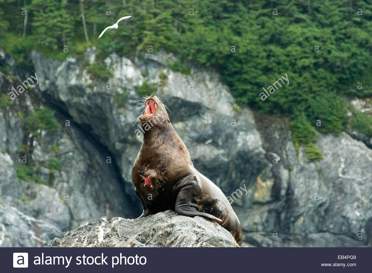 A wounded stellar sea lion (Eumetopias jubatus) barks from his perch on a rocky island. - Stock Image