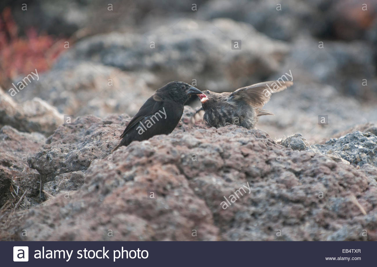 A female cactus ground finch communicates with a male. - Stock Image