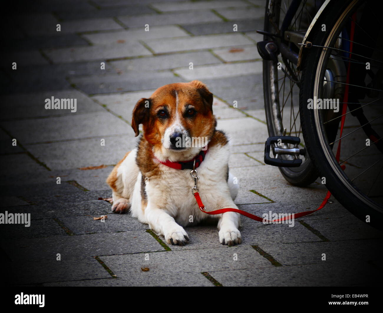 A dog patiently waiting for its master next to Bicycle - Stock Image