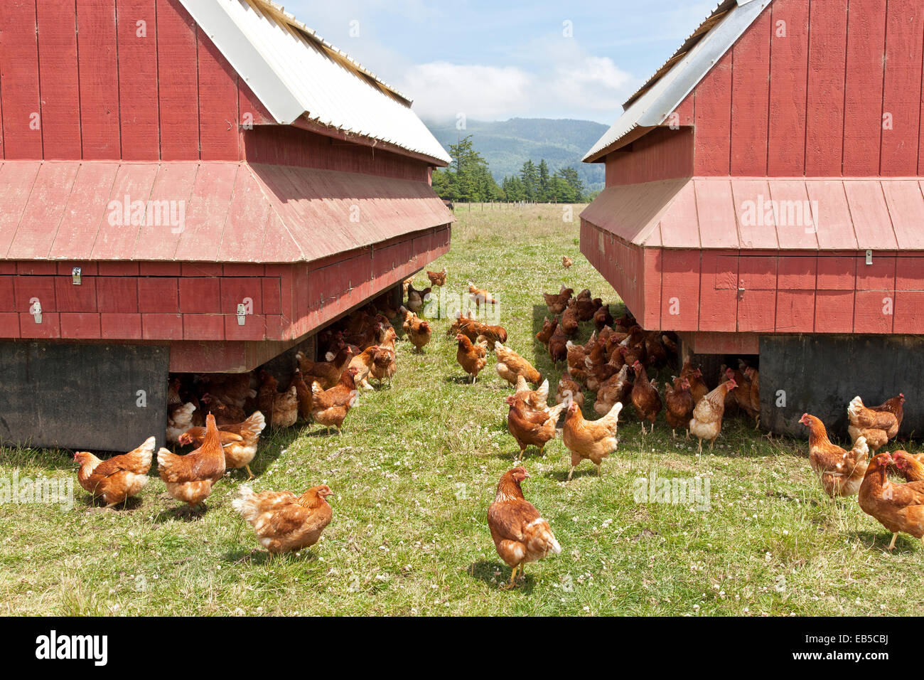 Free Range organic chickens, egg production,  pasture raised, portable housing. Stock Photo