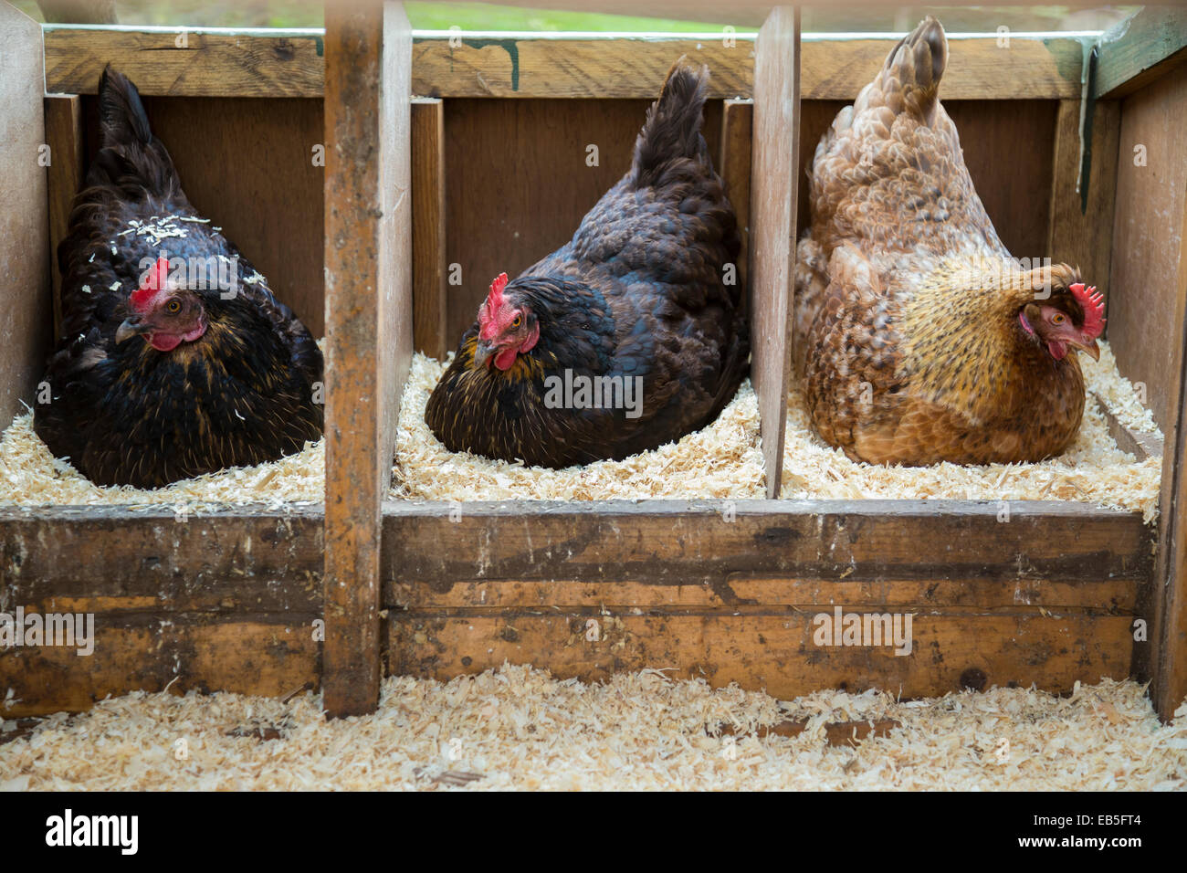 Chicken Sitting On Eggs: Hen Sitting On Eggs Stock Photos & Hen Sitting On Eggs