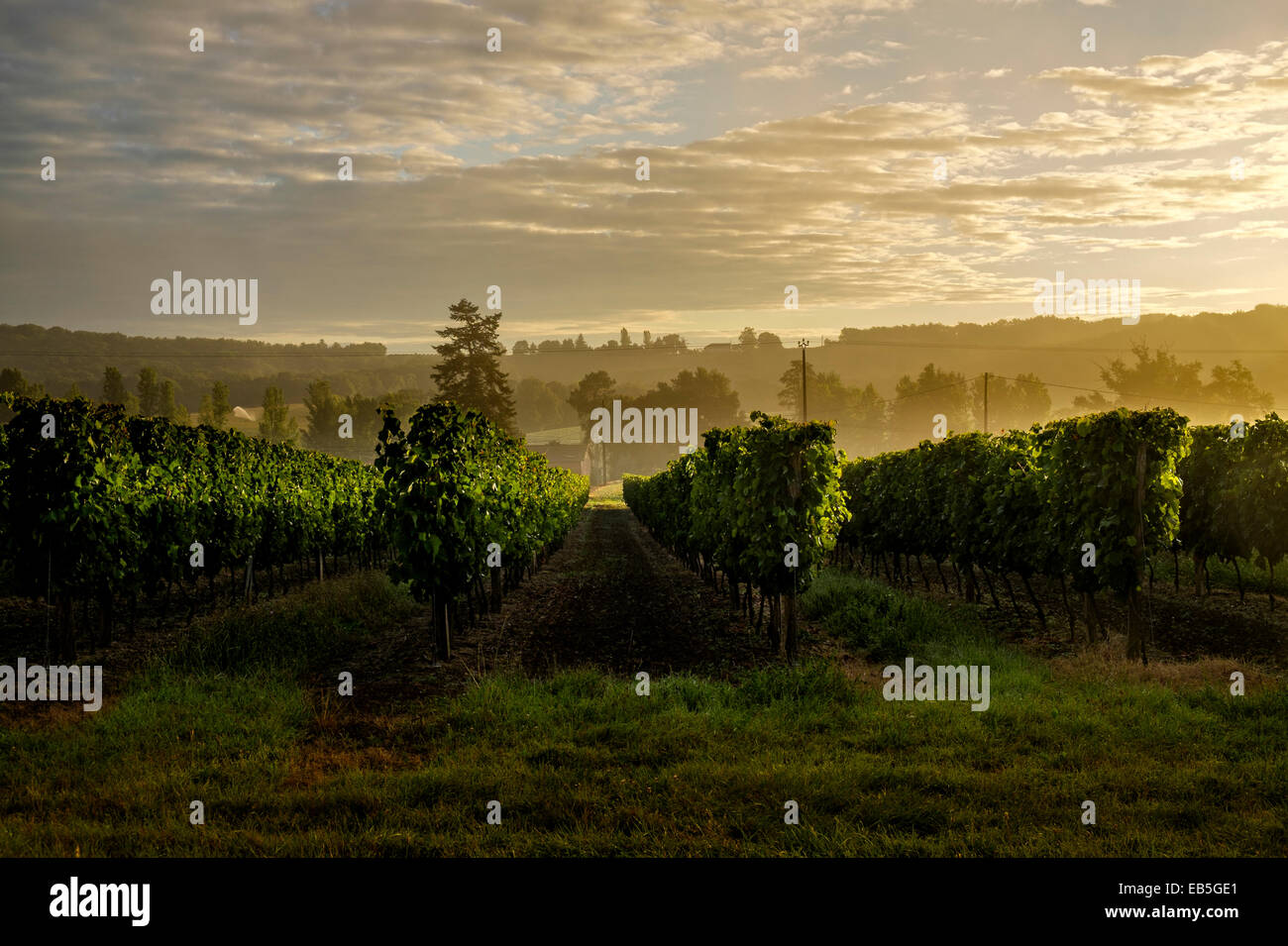 Grapevines in a vineyard Gers region of France at sunrise. Midi-Pyrénées - Stock Image
