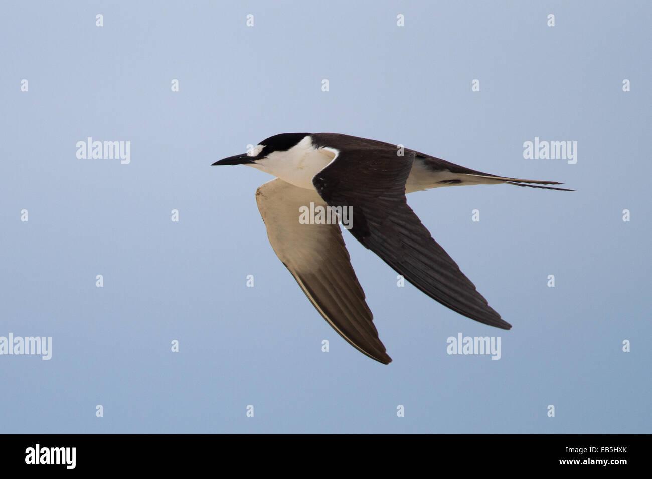 Sooty Tern (Sterna fuscata) - adult in flight Stock Photo