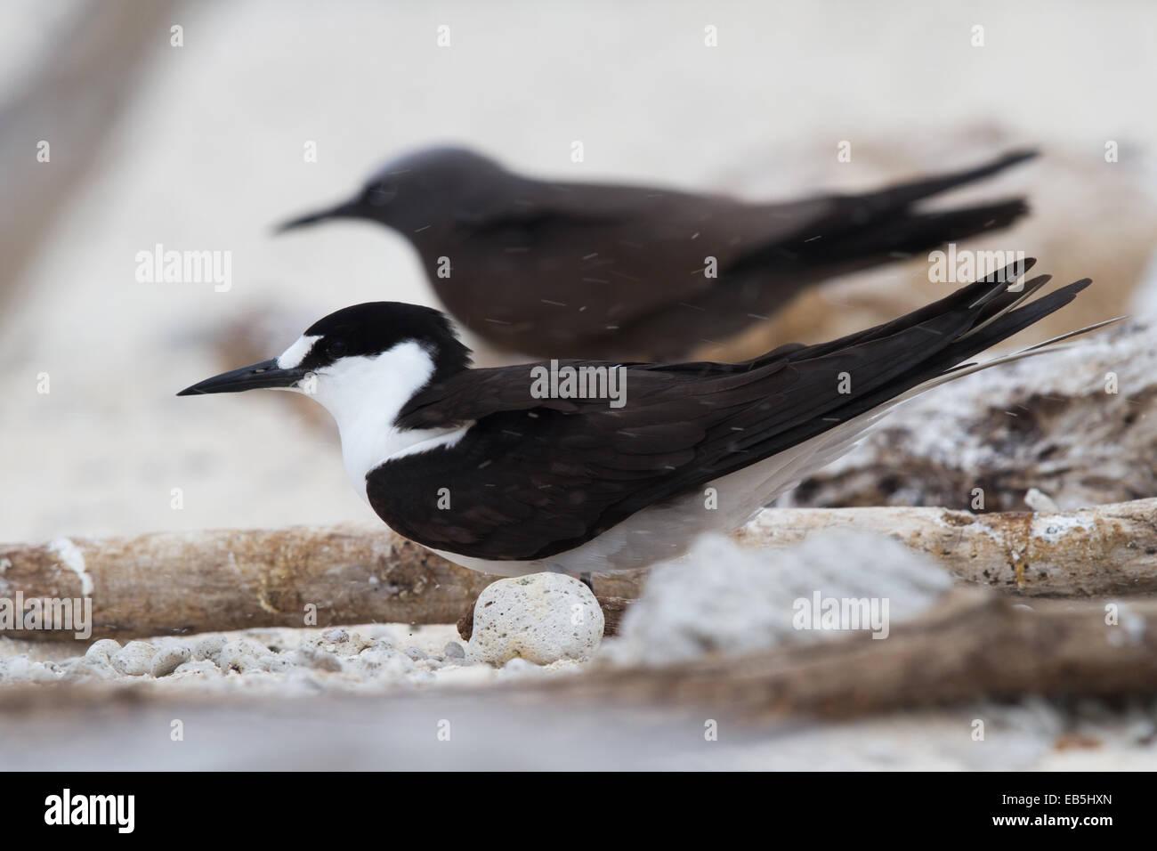 adult Sooty Tern (Sterna fuscata) Stock Photo