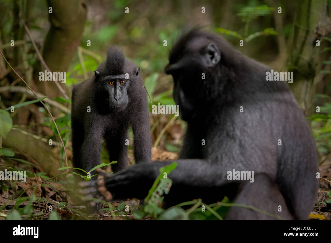 Sulawesi black-crested macaque (Macaca nigra) in Tangkoko nature reserves, North Sulawesi. - Stock Image