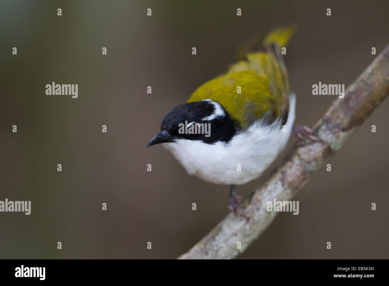 White-throated Honeyeater (Melithreptus albogularis) - Stock Image