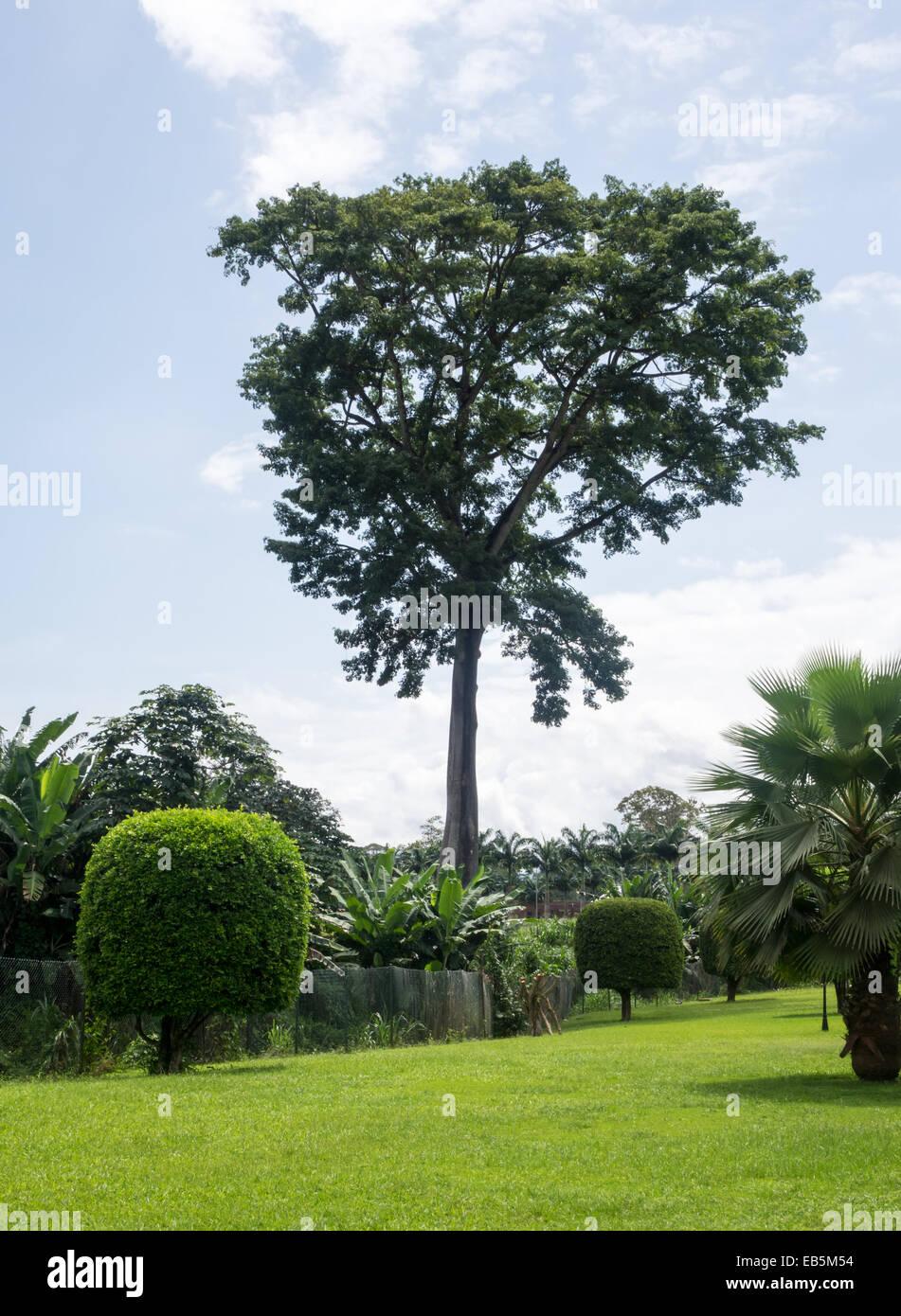 Ceiba tree in garden of Hilton Hotel near Malabo Equatorial Guinea - Stock Image