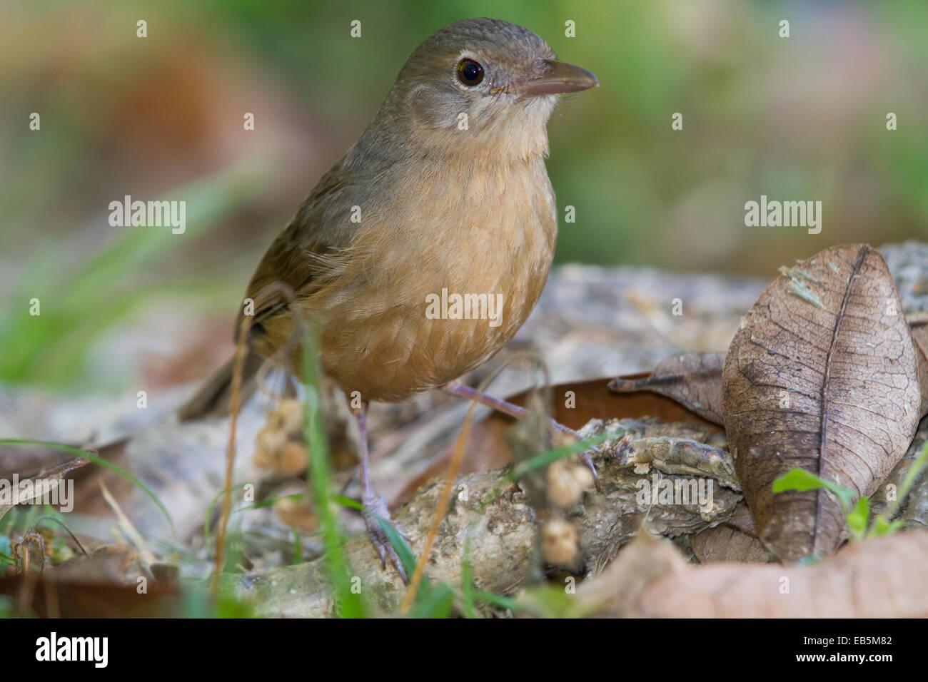 Little Shrike-thrush (Colluricincla megarhyncha) - Stock Image