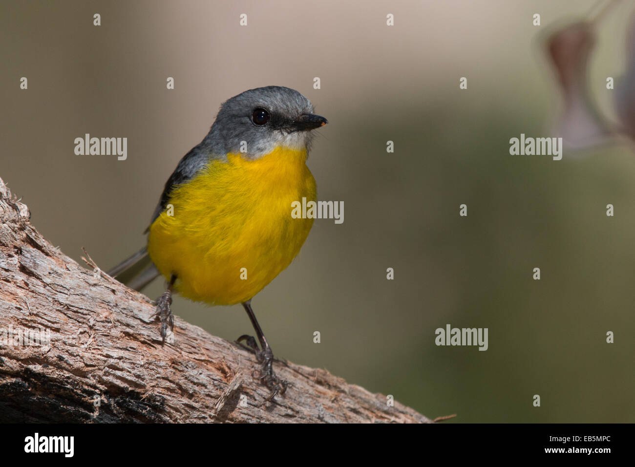 Eastern Yellow Robin (Eopsaltria australis) Stock Photo