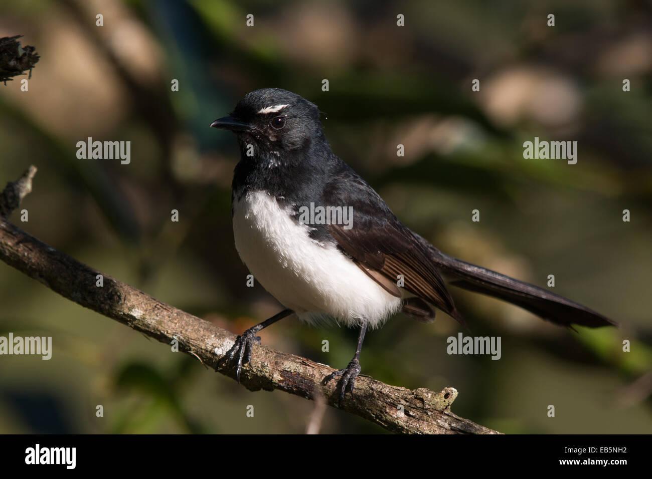Willie Wagtail (Rhipidura leucophrys) Stock Photo