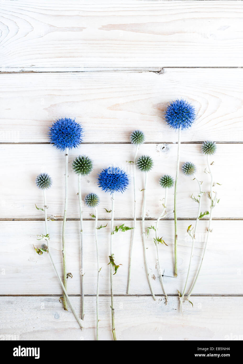 Echinops on white wooden table - Stock Image