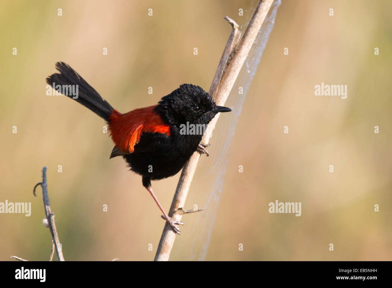 adult male Red-backed Fairywren (Malurus melanocephalus) perched on a reed stem Stock Photo