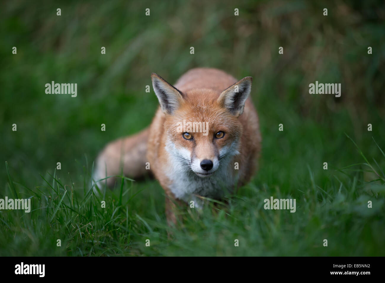 A male European red fox stalking in green grassland. Crouched low, facing camera and looking wily - Stock Image
