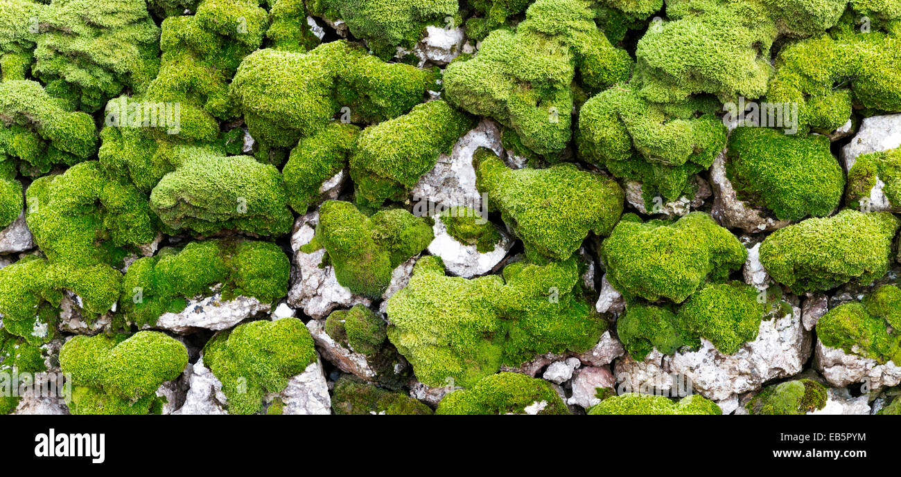 A section of drystone walling covered in moss - Stock Image