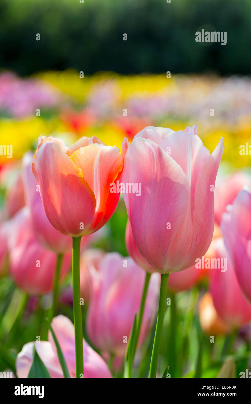 Tulips; Flowers; Spring; UK - Stock Image