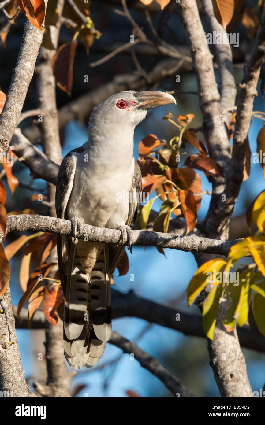Channel-billed Cuckoo (Scythrops novaehollandiae) - Stock Image