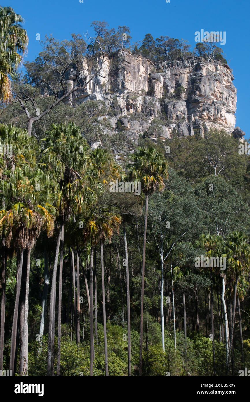 Carnarvon Fan Palms under the looming sandstone cliffs of Carnarvon Gorge, Queensland, Australia - Stock Image
