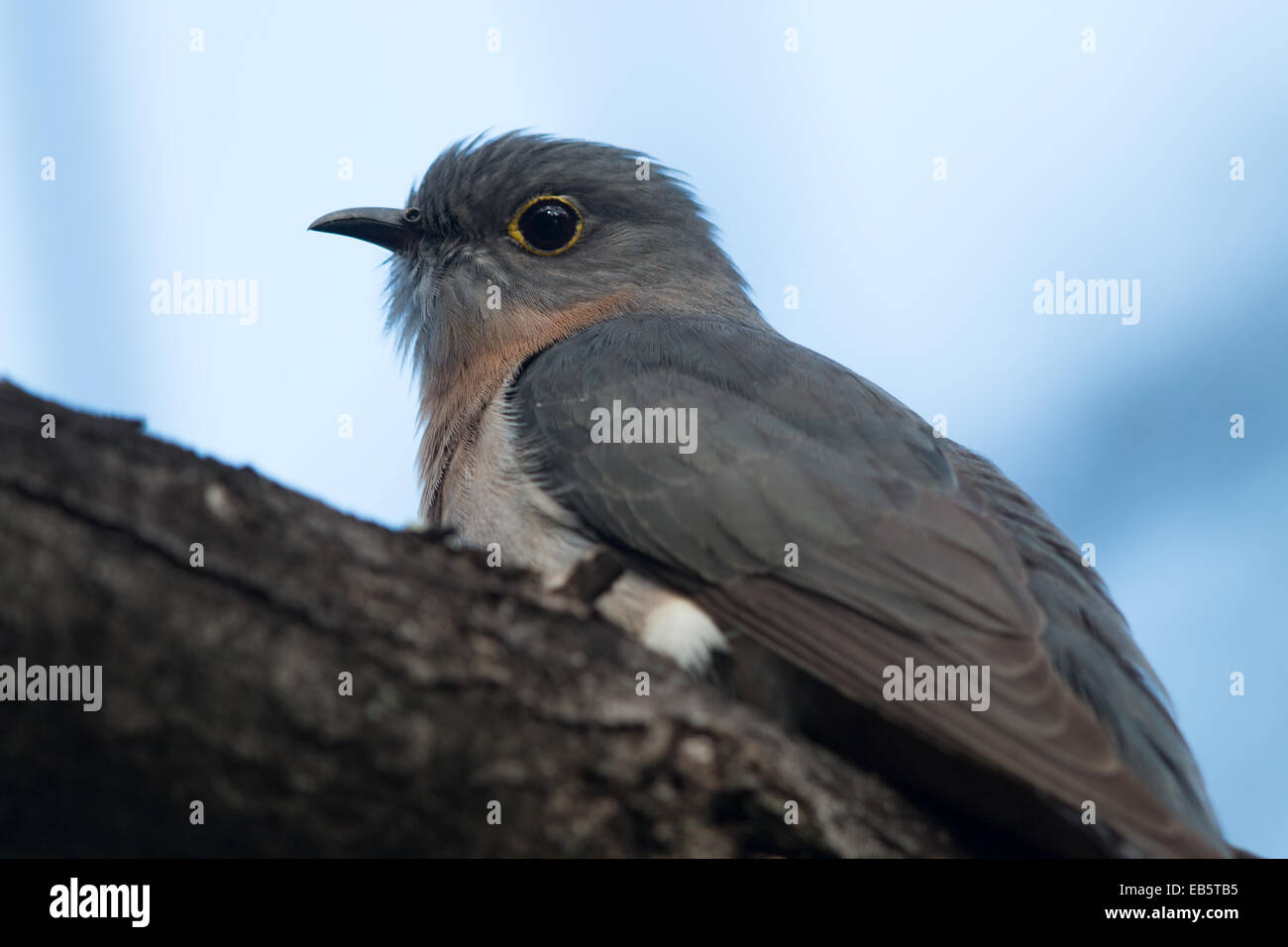Fan-tailed Cuckoo (Cacomantis flabelliformis) Stock Photo