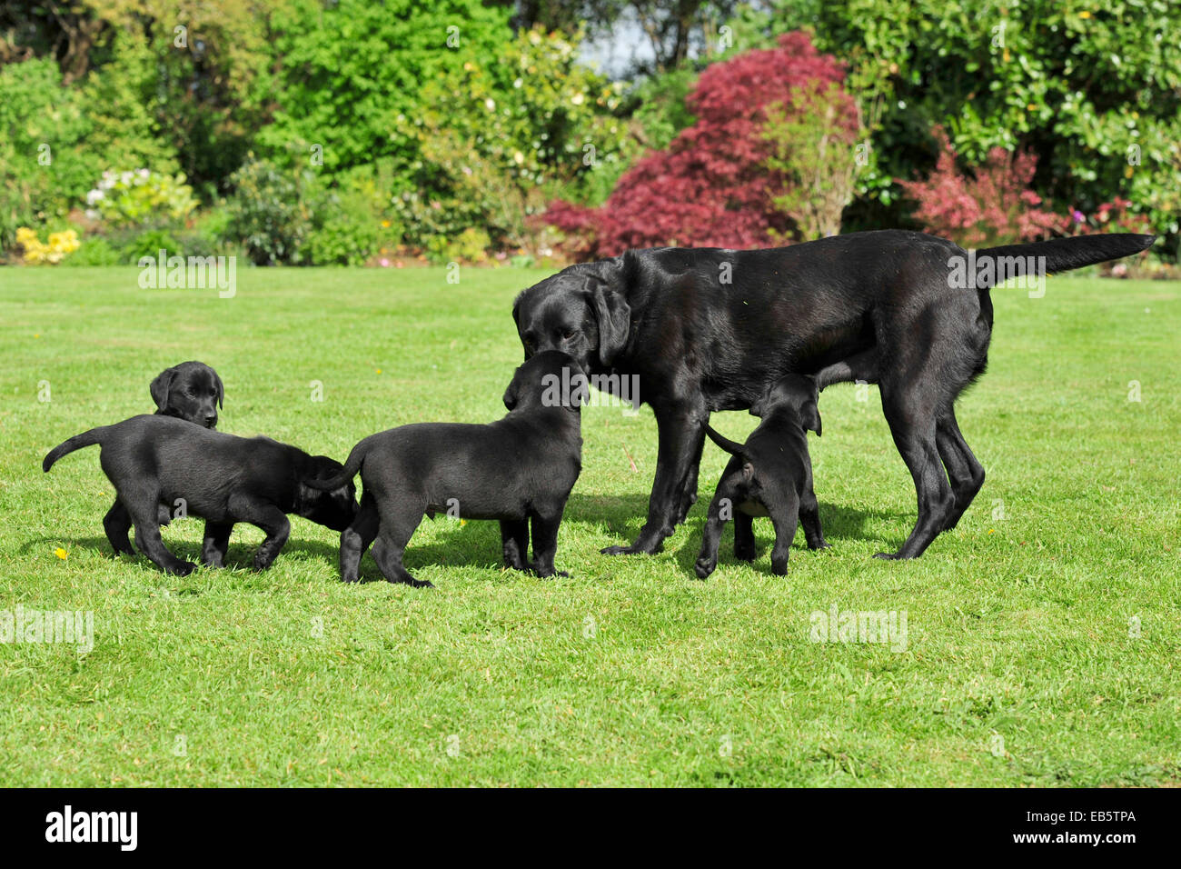 litter of black labradors with their mother in garden - Stock Image