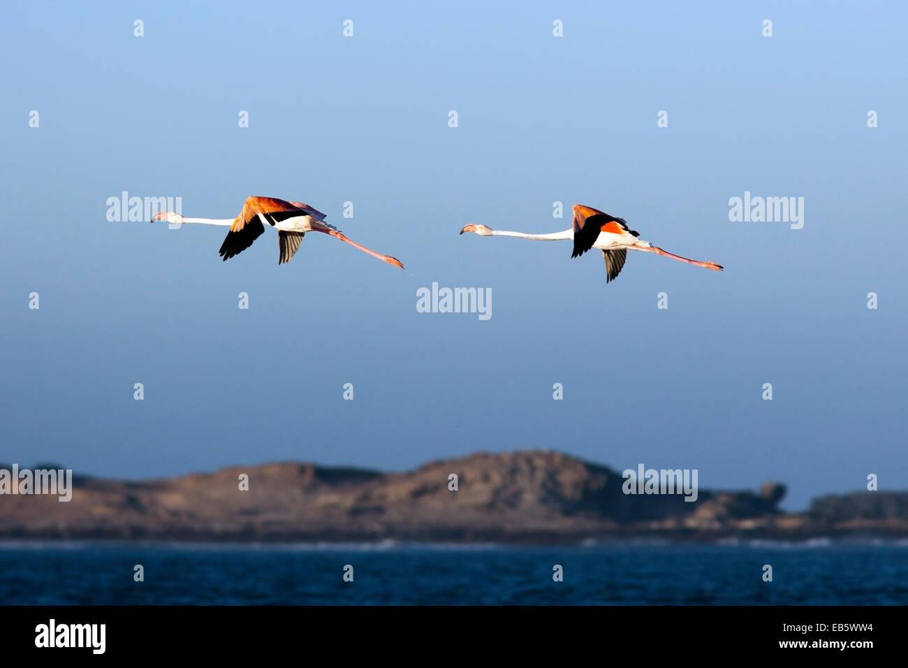 Greater Flamingos (Phoenicopterus roseus) - Diaz Point - Luderitz, Namibia, Africa Stock Photo
