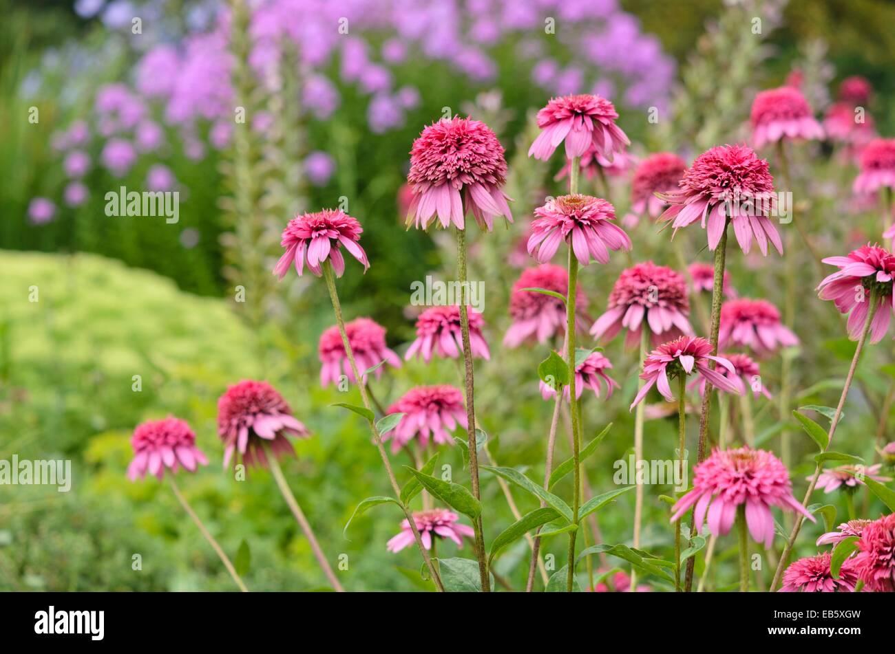 Purple cone flower (Echinacea purpurea 'Razzmatazz') - Stock Image