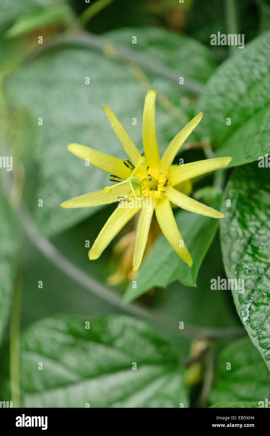 Citrus Yellow Passion Flower Passiflora Citrina Stock Photo