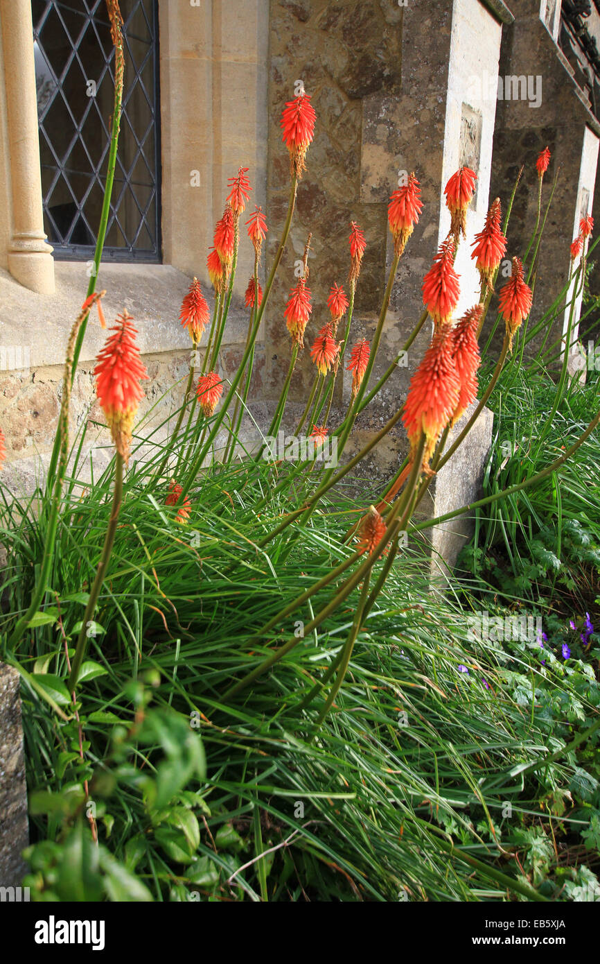 Red Hot Poker is a perennial that can remain in the same spot for several years. It is important that the soil is - Stock Image