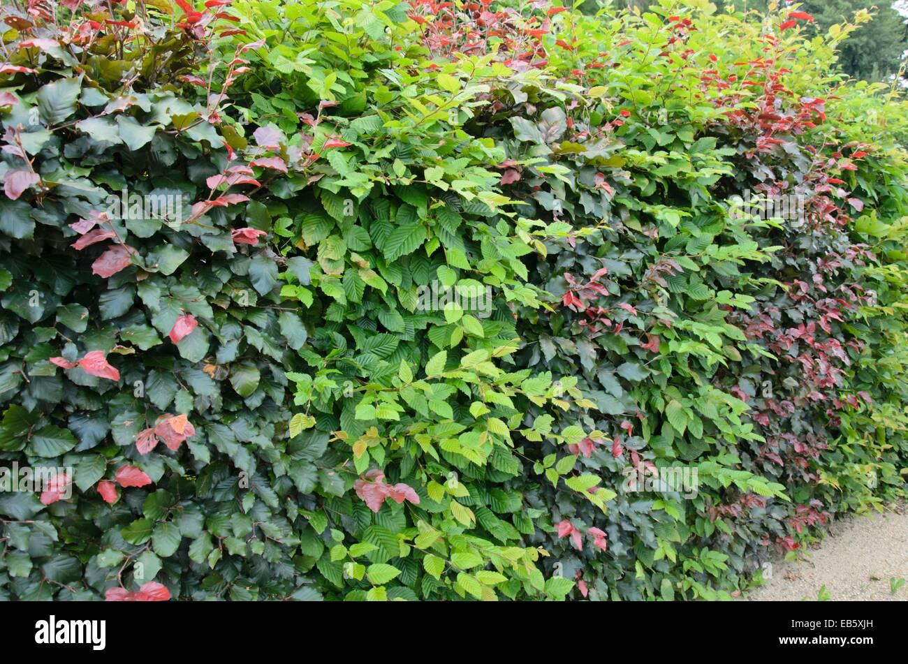 Common hornbeam (Carpinus betulus) and copper beech (Fagus sylvatica 'Purpurea') - Stock Image