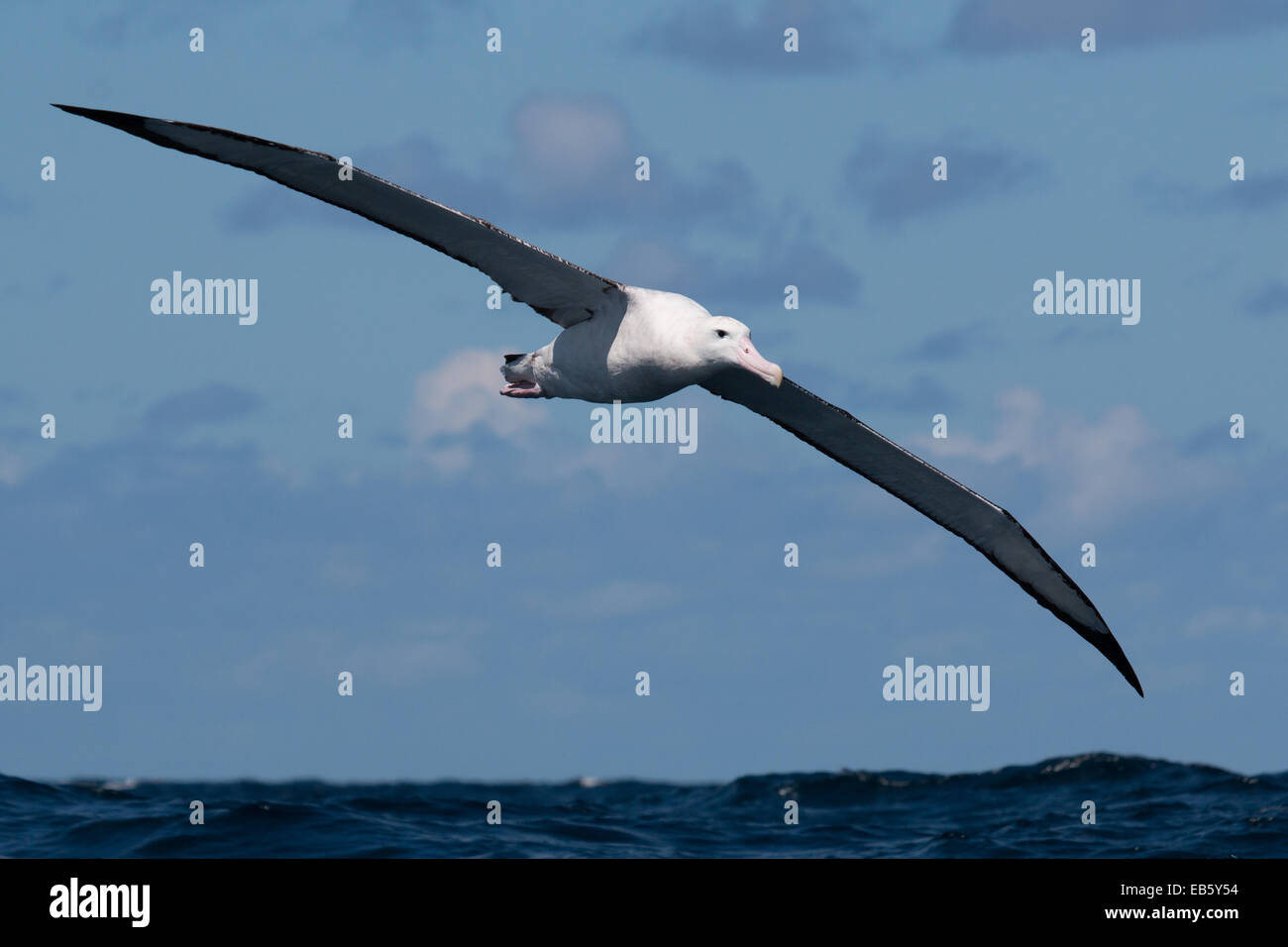 Wandering Albatross (Diomedea exulans) flying over the Pacific Ocean - Stock Image