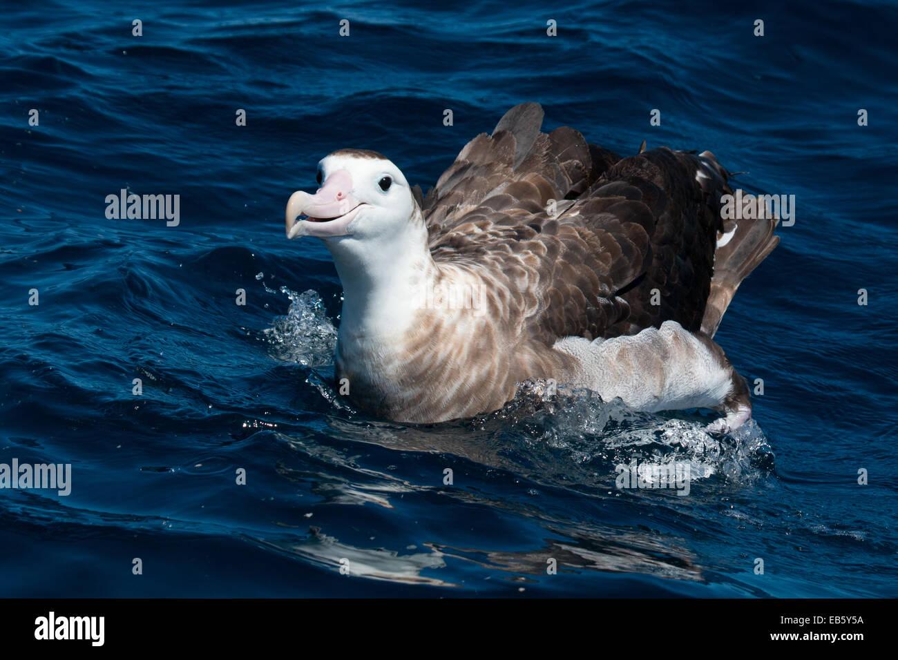 Antipodean Albatross (Diomedea antipodensis) swimming in the ocean - Stock Image