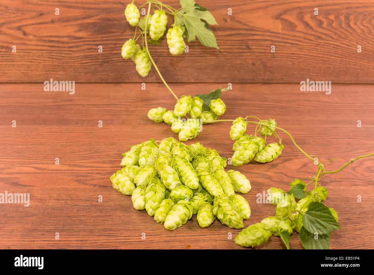 bumps or inflorescence hops ordinary - Stock Image