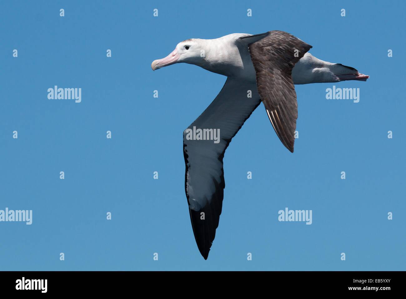Wandering Albatross (Diomedea exulans) in flight - Stock Image