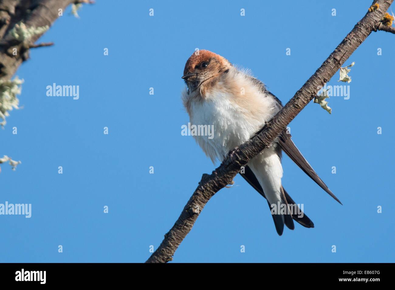 Fairy Martin (Hirundo ariel) - Stock Image