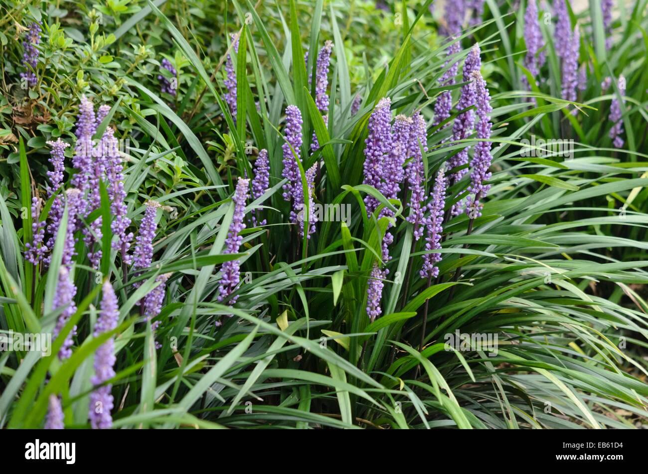 Big Blue Lily Turf Liriope Muscari Stock Photo 75735552 Alamy