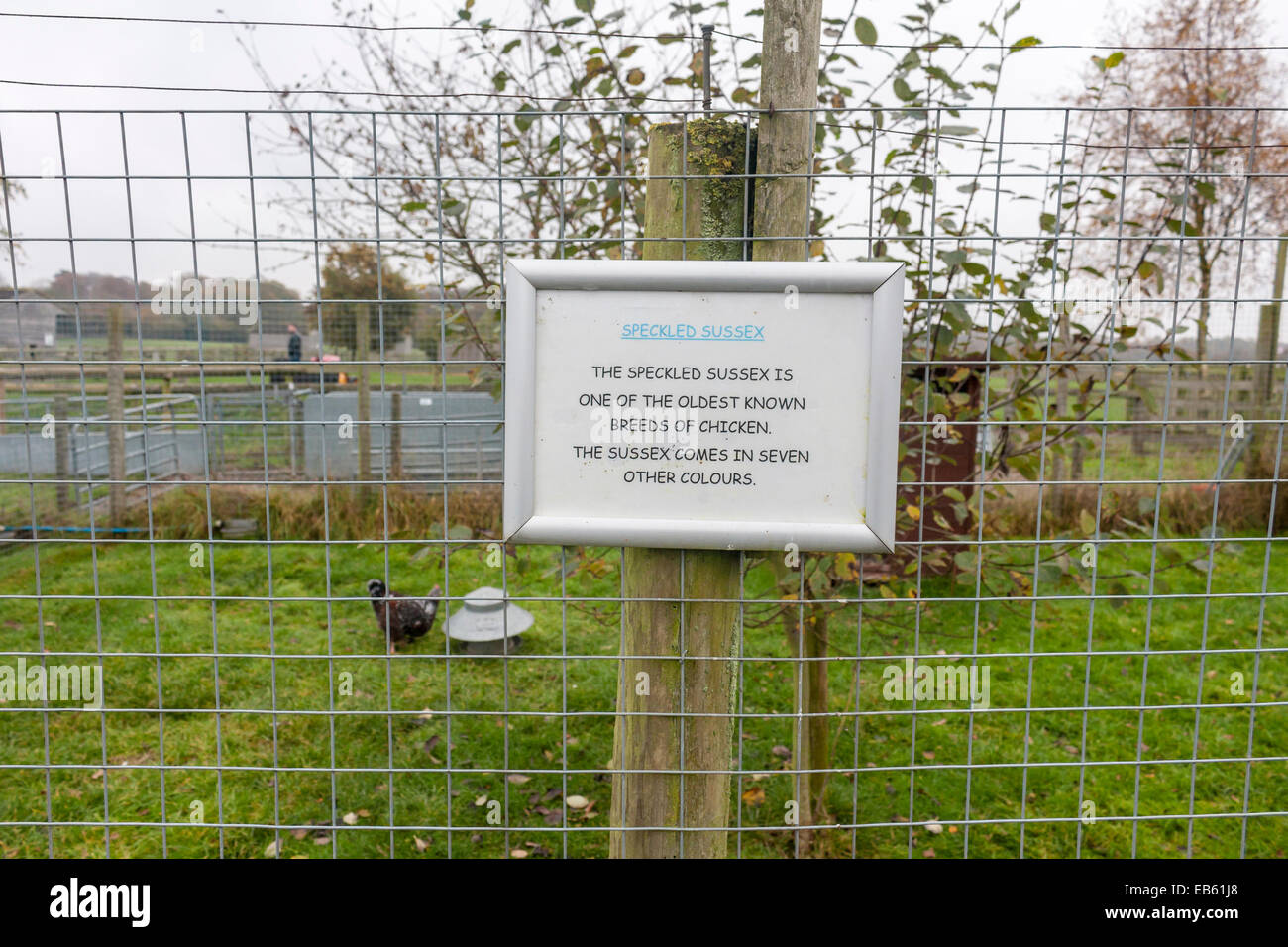 Speckled Sussex chicken enclosure at children's farm Odds Farm, Wooburn Common, Buckinghamshire, UK - Stock Image
