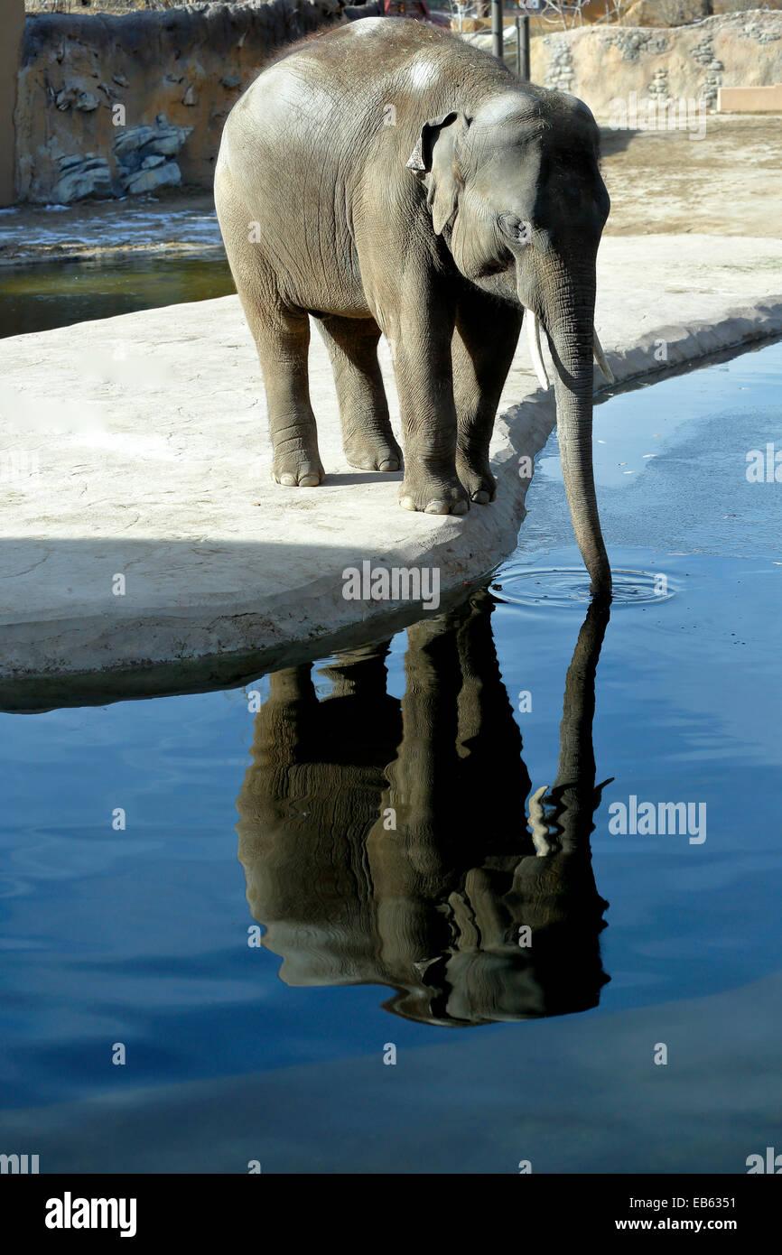 Captive Asian elephant (Elephas maximus), Denver Zoo, Denver, Colorado USA - Stock Image