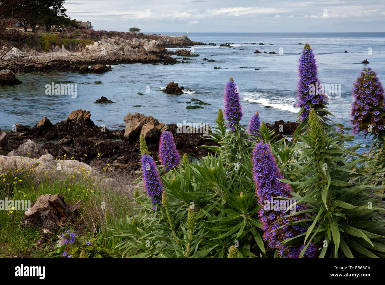 CA02417-00...CALIFORNIA - Colorful flowers blooming along the Monterey waterfront on the shores of Monterey Bay. - Stock Image