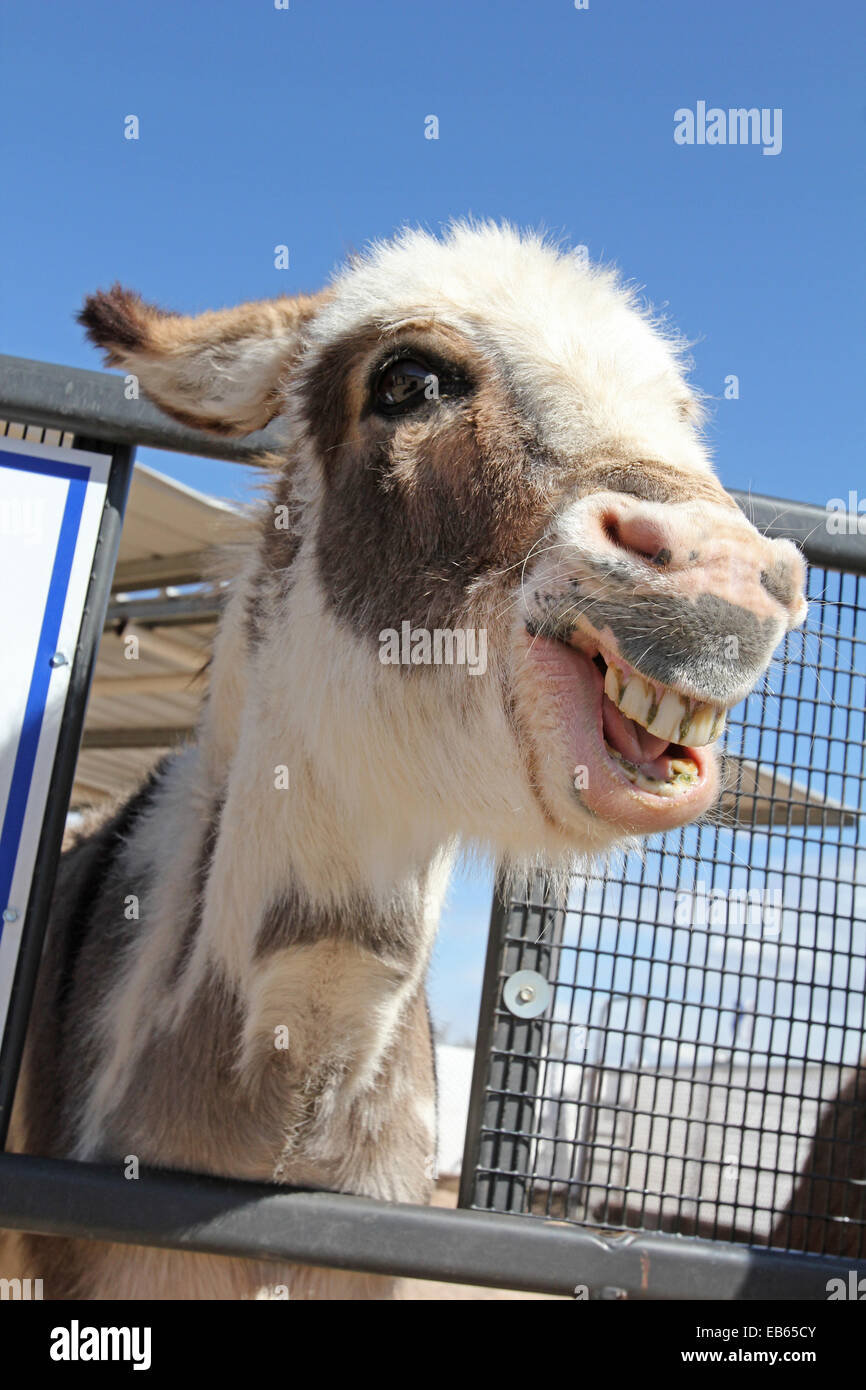 Smiling Donkey, Equus africanus asinus Stock Photo