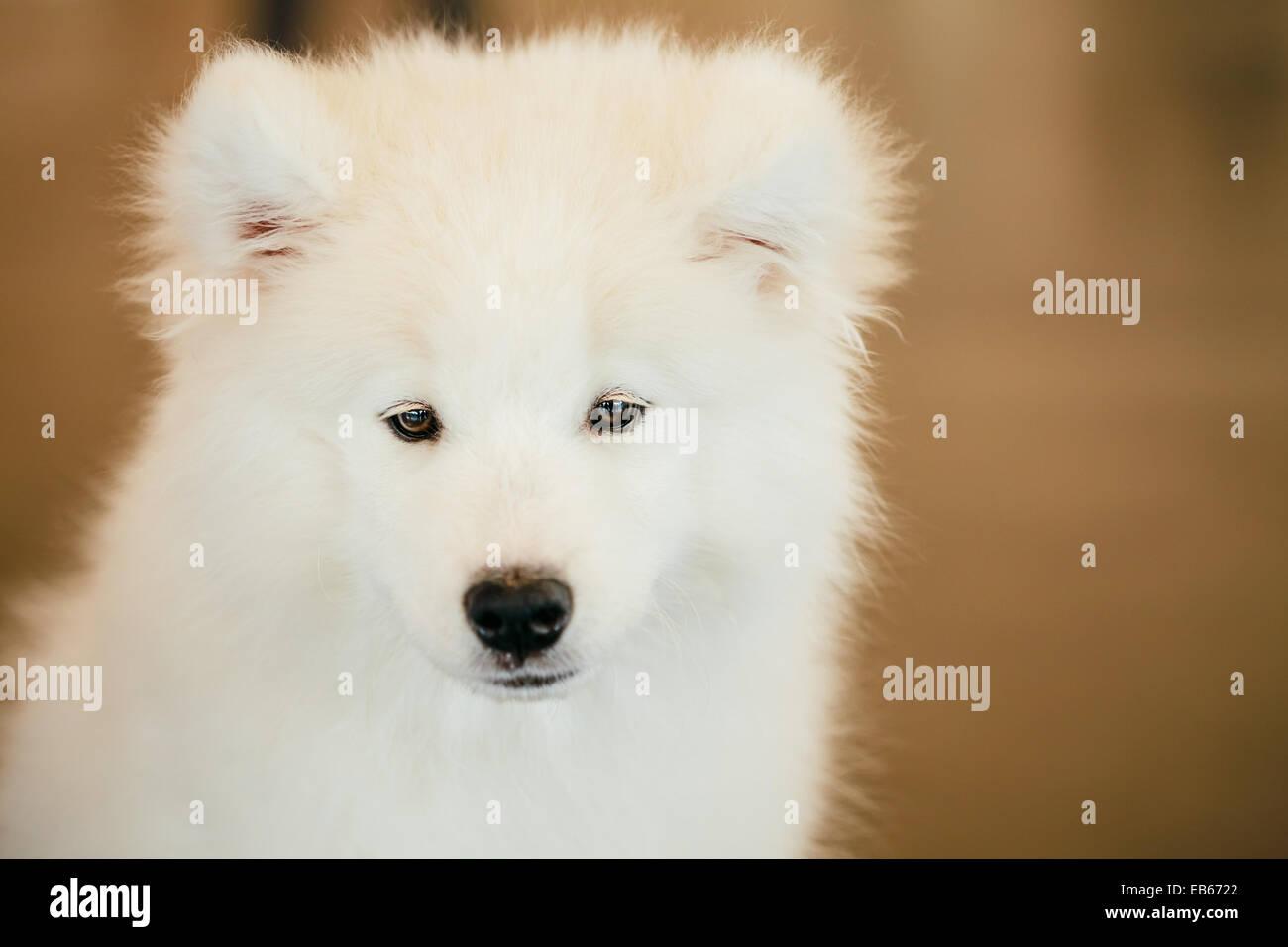 White Samoyed Dog Puppy Whelp Close Up Portrait - Stock Image