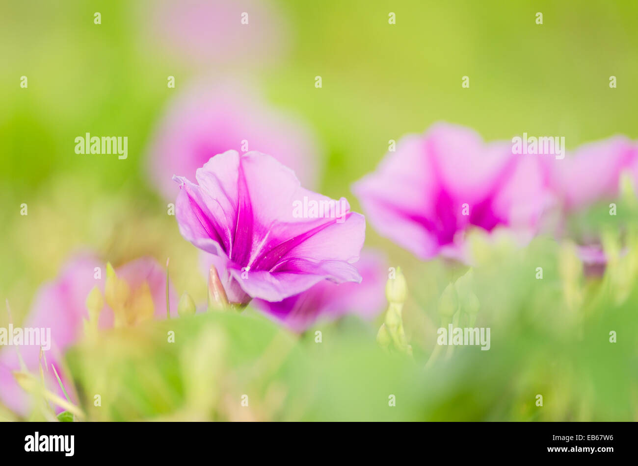 Morning glory or Convolvulaceae flowers or Bindweed Family in the nature or the garden - Stock Image