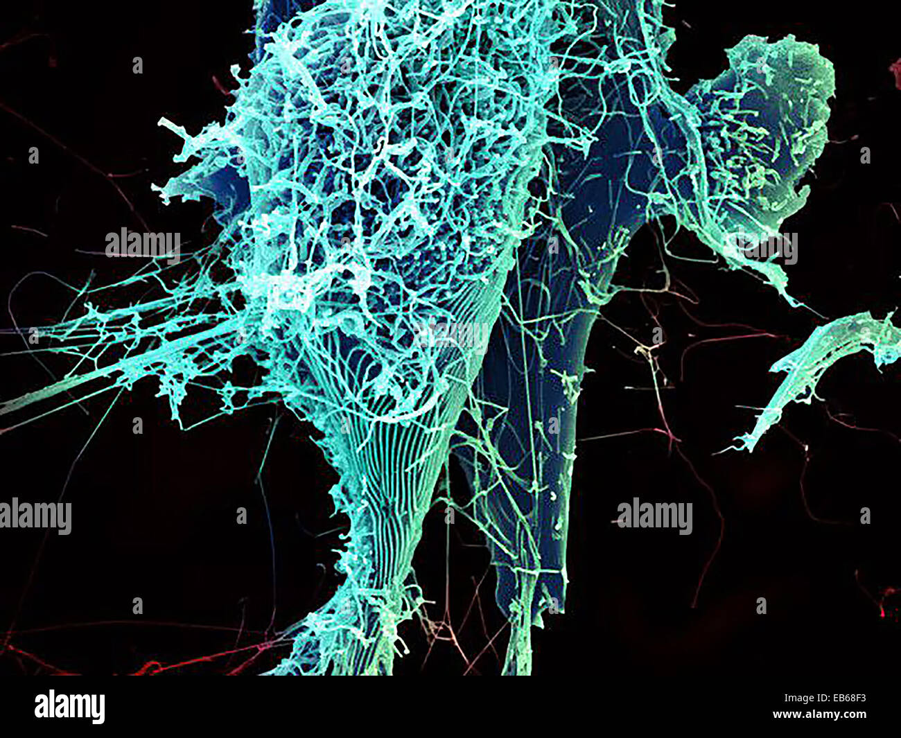 Ebola Virus Particles - Stock Image