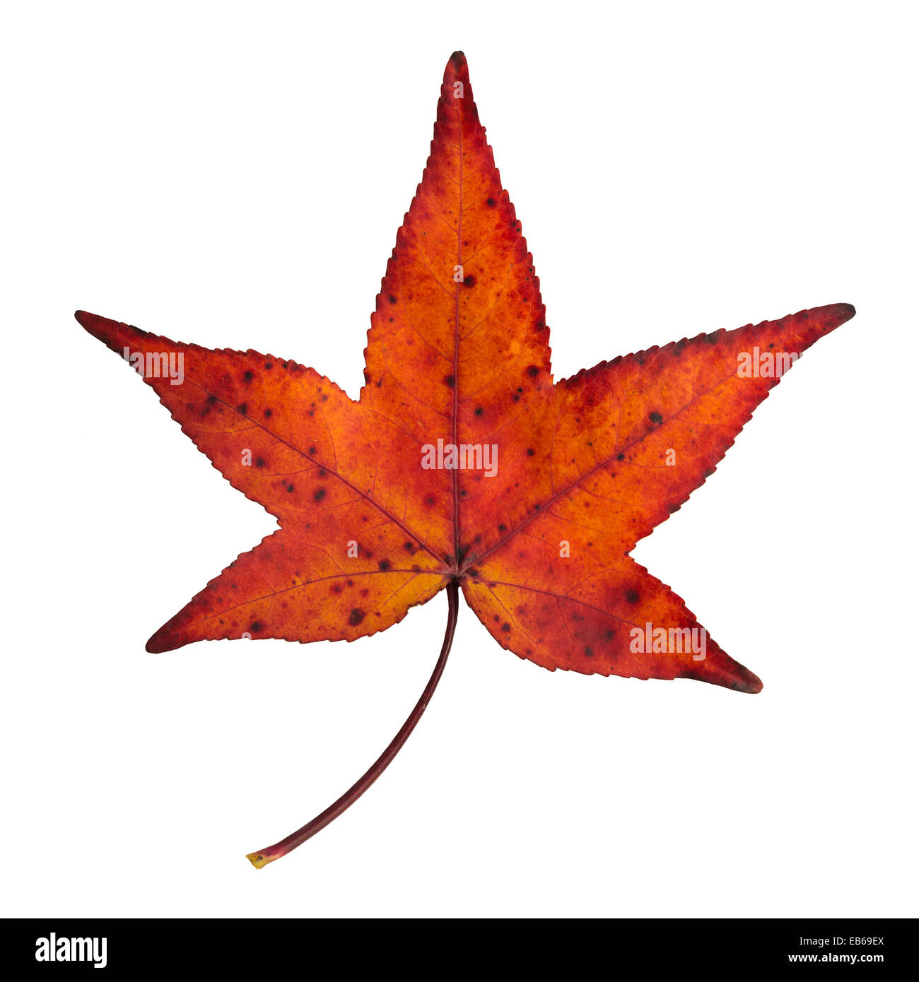 autumn red and orange maple leaf isolated - Stock Image