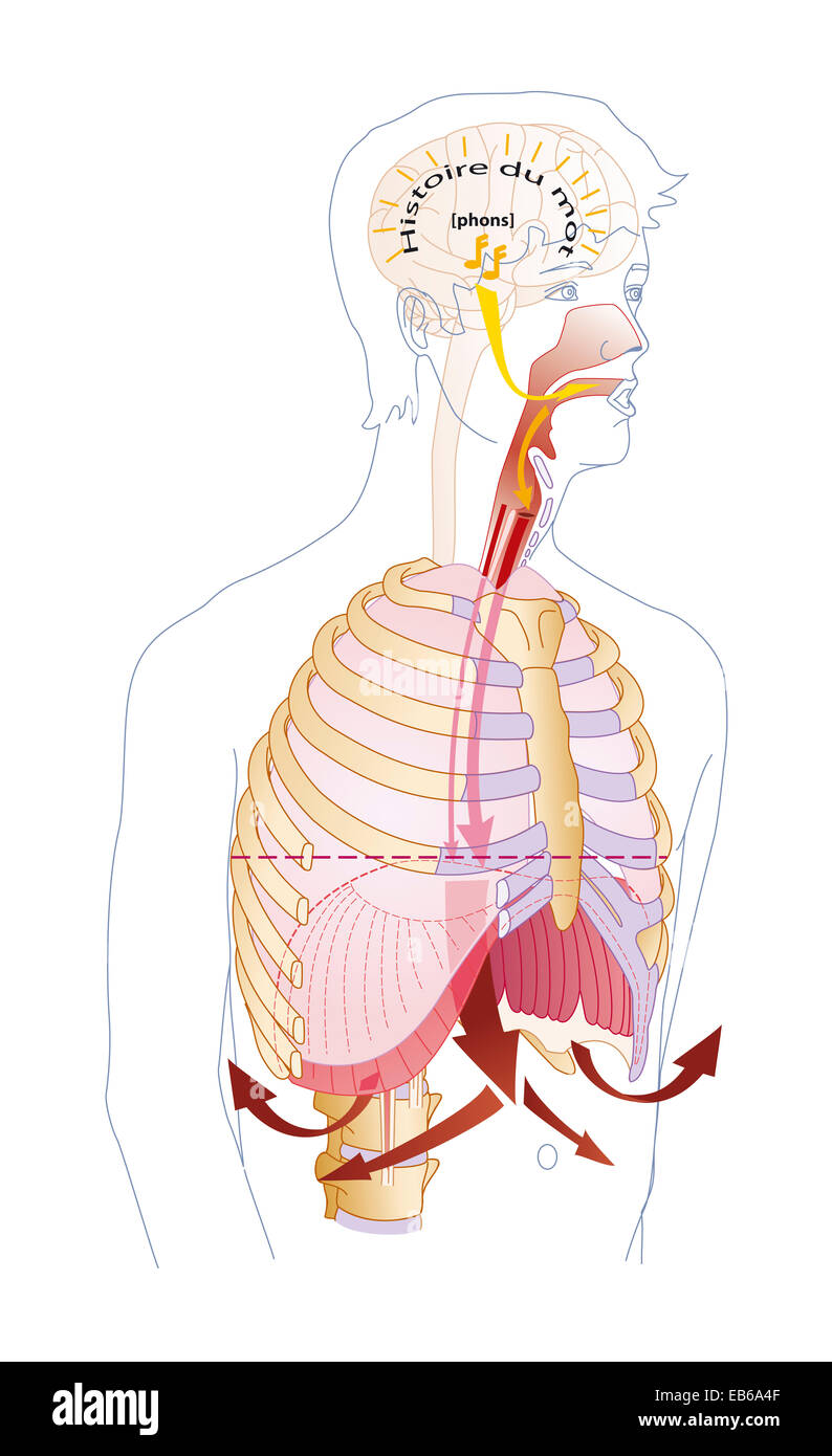 Vocal Tract Stock Photos Vocal Tract Stock Images Alamy