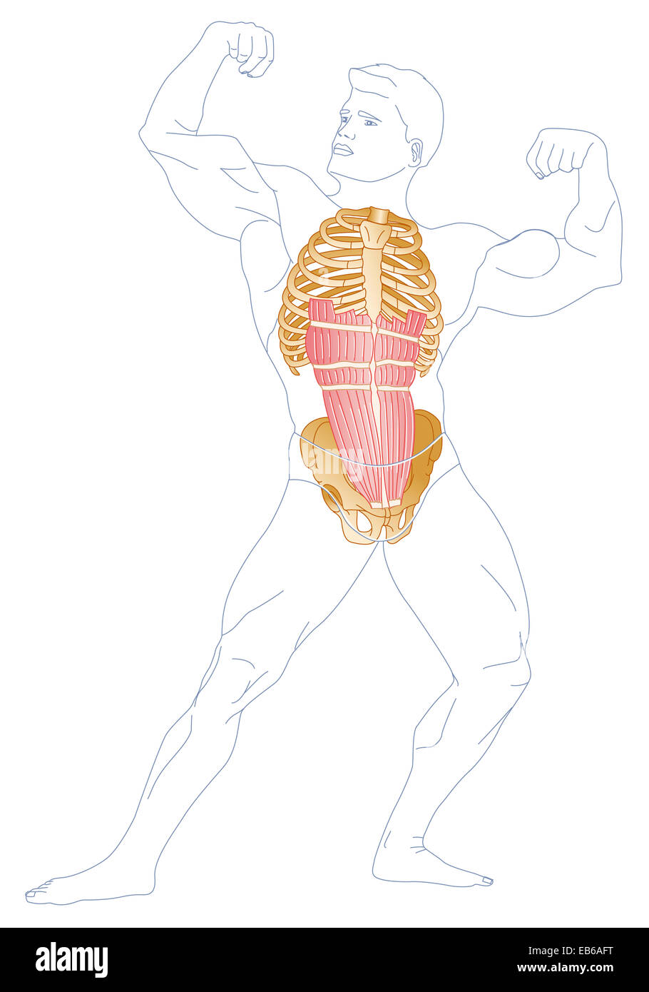 ABDOMINAL MUSCLES, DRAWING - Stock Image