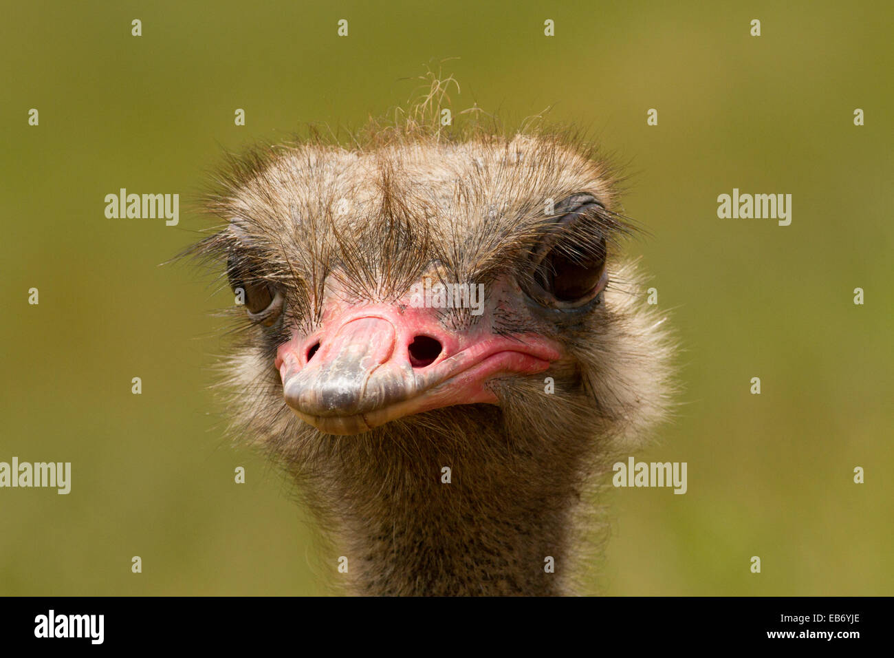 Ostrich head with space for captions. Plain background - Stock Image