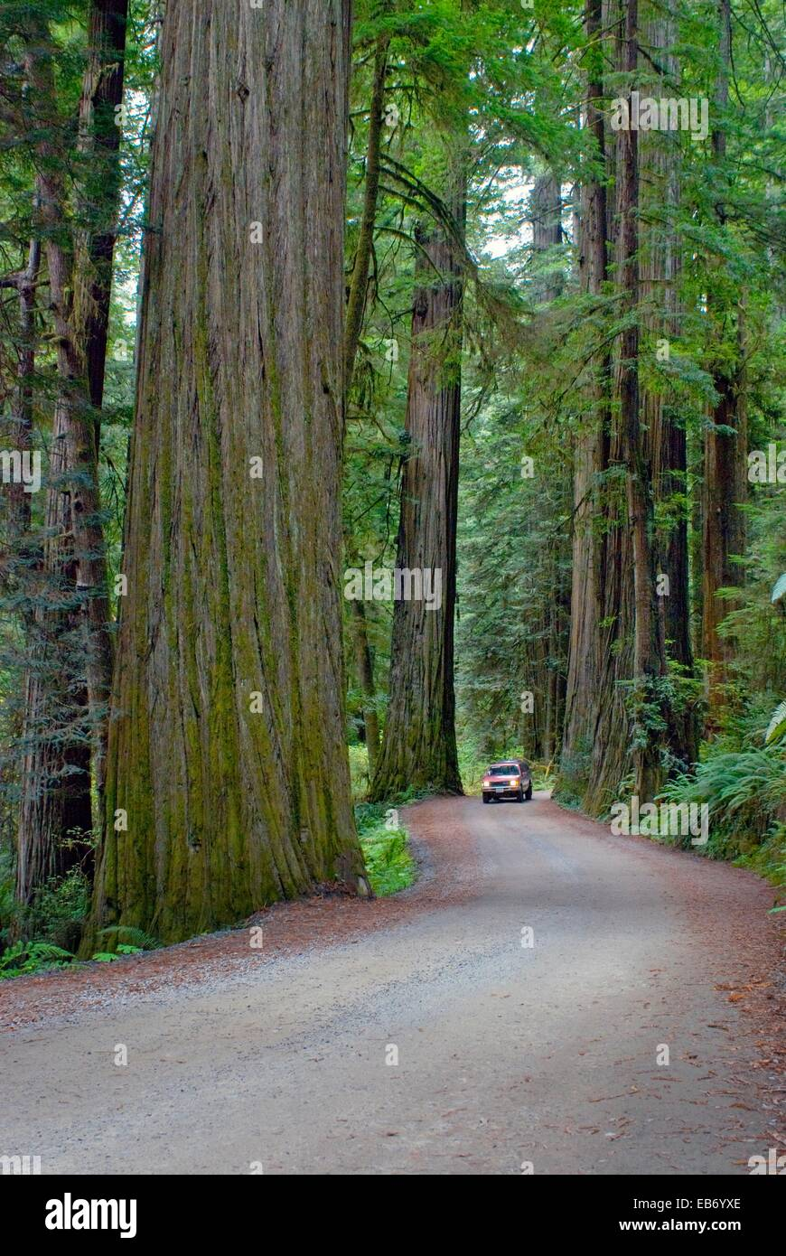 Primitive road through old growth coast redwood forest, Jedediah Smith Redwoods State Park, Crescent City, California - Stock Image