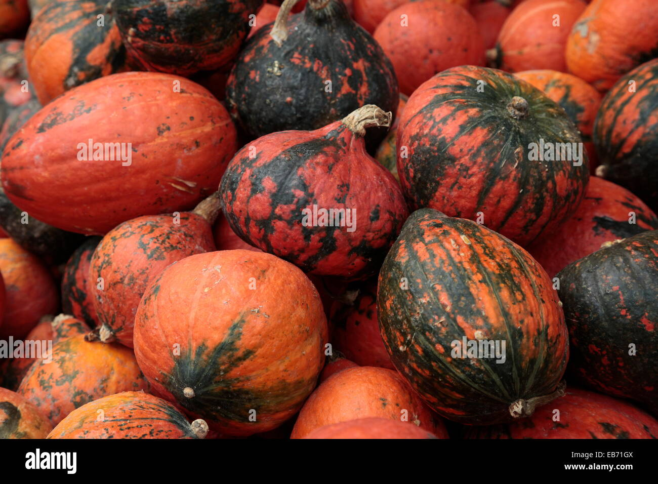 Assortment of Cucurbitaceae various types of squashes, pumpkin, and gourds - Stock Image
