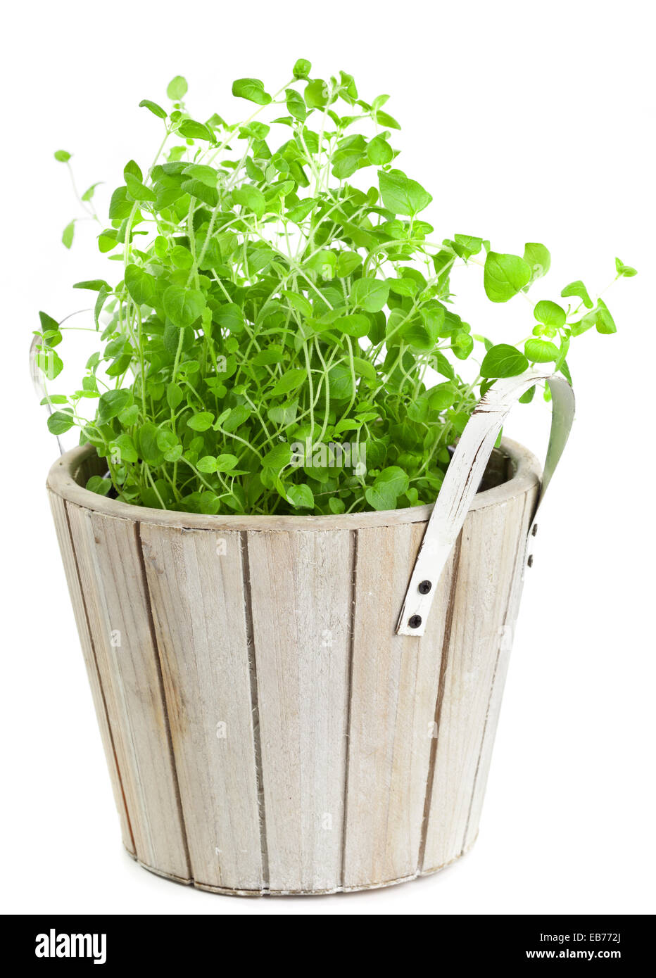 Potted marjoram over white background - Stock Image