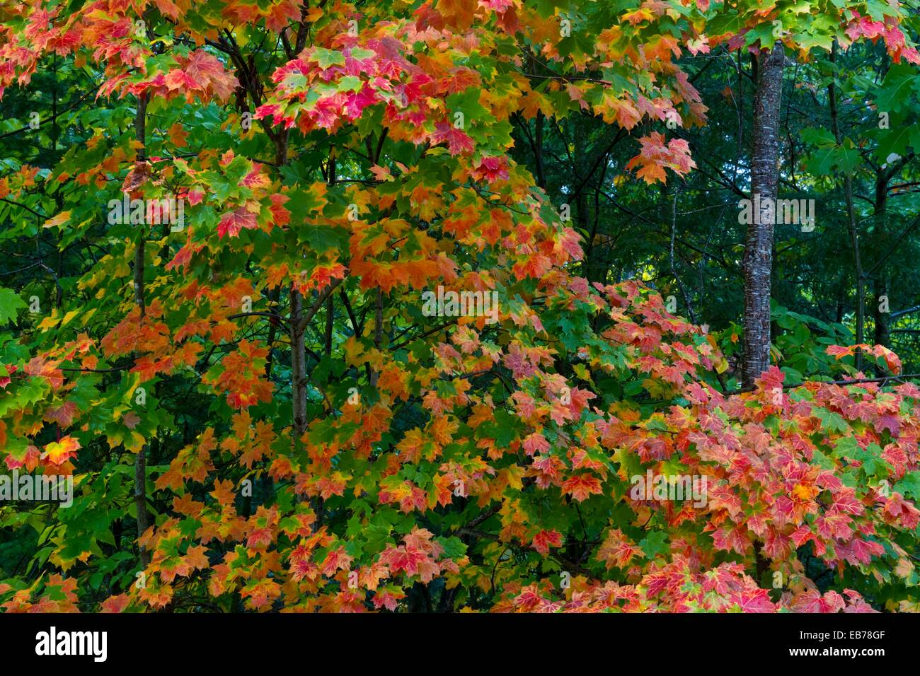 Fall foliage color in the trees along Highway 119 in Michigan´s ...